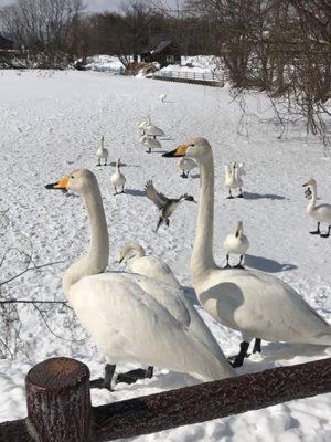 氷上の白鳥たち