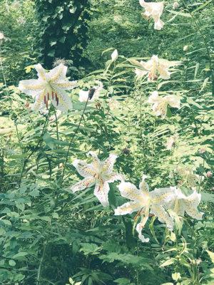 しらゆりの花
